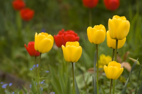 Yellow tulips2
